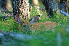 Innocence (Romain Claudepierre) Tags: chevreuil deer canada wildlife nikon sigma 120300 f28 os québec