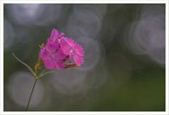 Diaplan 11 (Outlaw Pete 65) Tags: macro closeup fiori flowers colori colours natura nature bolle bubbles fujixe3 meyeroptikdiaplan80mm collebeato lombardia italia