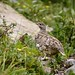 White-tailed Ptarmigan at Plain of Six Glaciers