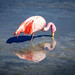 Flamant rose barbotant.