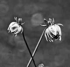 Crisscross!😊 (LeanneHall3 :-)) Tags: blackandwhite mono crisscross stems buds dahlias petals closeupphotography closeup flowers flowersarefabulous flowerarebeautiful flowerflowerflower macro macrophotography macroflowerlovers macrounlimited canon 1300d bokeh bokehlicious