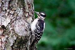 Hairy Woodpecker (Anne Ahearne) Tags: wild bird animal nature wildlife tree woodpecker hairywoodpecker birdwatching
