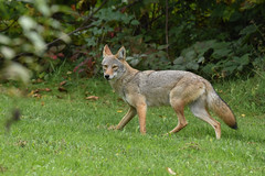 Eastern Coyote (female) (aj4095) Tags: coyote nature wildlife ontario canada outdoor september