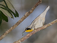 Yellow-throated Warbler (ruthpphoto) Tags: yellowthroatedwarbler animal
