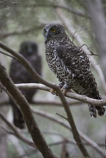 Powerful Owls - Ninox strenua