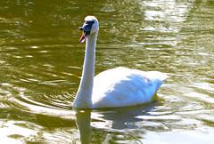 Trumpeter Swan (Jewill16) Tags: reifel swan