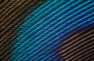 Peacock Feather (13)