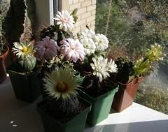Cacti flowers (Alex_CL) Tags: cacti flowers