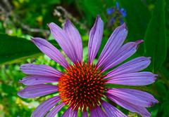 September 11th (oybay©) Tags: coneflower flower flora fiori blumen macro arizona williams williamsarizona bee plant butterfly bright