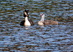 Great Crested Grebe Linlithgow Loch 10 August 2016-0012.jpg (JamesPDeans.co.uk) Tags: greatcrestedgrebe forthemanwhohaseverything gb printsforsale birds westlothian grebes breeding unitedkingdom greatbritain nature scotland britain linlithgowloch linlithgow wwwjamespdeanscouk europe lothian youngbird landscapeforwalls jamespdeansphotography uk digitaldownloadsforlicence