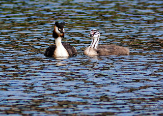 Great Crested Grebe Linlithgow Loch 10 August 2016-0012.jpg