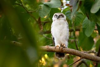 Juvenile Rufous Owl