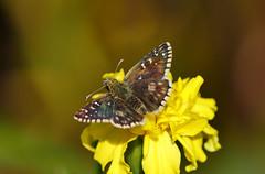 Mehrbrütiger Puzzlefalter (Bine&Minka2007) Tags: schmetterling mehrbrütigerpuzzlefalter dickkopffalter falter schmetterlinge makro macro butterfly insekten insects christal closeup
