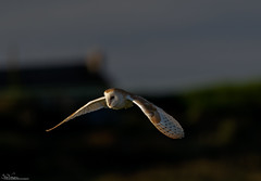 Barn Owl at first light. (Steve (Hooky) Waddingham) Tags: bird british animal countryside coast nature northumberland wild wildlife flight hunting prey owl