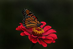 Butterfly On Flowers (MyEyesHaveSeen) Tags: butterfly red yellow flower swallowtail pink colors colorful monarch monarchbutterfly zinnia foraging nectar pollen pollenation