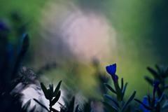 Colorchaos ;) (Jens III) Tags: sony colorful macro alpha 6000 amateur anfänger outdoor pentacon bokeh colors bunt flower nature blue green sun beautiful
