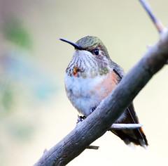 Rufous Hummingbird? -- Female (Selasphorous rufus); Santa Fe National Forest, NM, Thompson Ridge [Lou Feltz] (deserttoad) Tags: wildlife nature newmexico behavior flight desert bird wildbird hummingbird mountain nationalforest