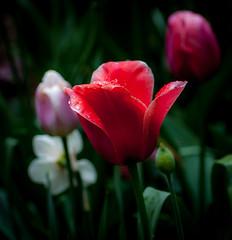 tulips after rain (marinachi) Tags: red pink plant garden tulip may lowkey flowers rain cof037dmnq cof037 cof037mari cof037ally cof037chon