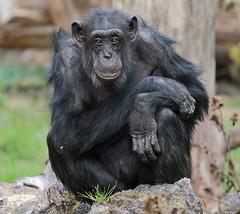 chimpanzee Burgerszoo JN6A8308 (j.a.kok) Tags: animal africa afrika aap ape burgerszoo burgerzoo mammal monkey mensaap primate primaat chimpansee chimpanzee pantroglodytes zoogdier dier