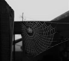 Evening Dew (WingsofFreedom5) Tags: spider web dawn dew creature rain torn storm