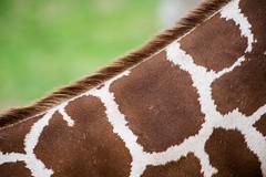 The pattern! (bp-122) Tags: giraffe pattern wildlife whipsnade zoo mammal animal fauna hair brown sharp abstract diagonal giraffepattern design ngc