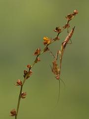 Mio Mantis 'Cameroon' (The-Hawk) Tags: macro mio mantis cameroon insect invertebrate praying nikon d800