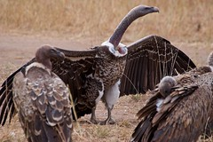 IMGP8707 Voltures (Claudio e Lucia Images around the world) Tags: serengeti tanzania africa savana pentax pentaxk3ii sigma sigma50500 bigma sigmaart pentaxart nationalgeographic africageographic animale erba cielo campo paesaggio bird volture carcassa prey dead eating bones scavenger uccello legno marabou maraboustork stork