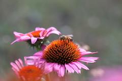 IMG_0028 (kajsch) Tags: purple coneflower pollination