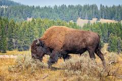 Rebuffed (KPortin) Tags: bison bull yellowstonenationalpark lamarvalley sagebrush trees
