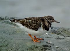 turnstone (patrickcolhoun) Tags: turnstone rock donegal buncrana beach bird nature wildlife animal countydonegal ireland