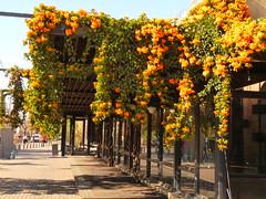 ACA SE BAILA TANGO (su-sa-ni-ta) Tags: agosto 2018 flores adornos baile tango argentina rosario paseo familia