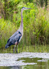Great blue heron ('Meeze.') Tags: swamp cormorant wetlands everglades mute shoal shorebird water surface migratory waterlily jacana wild bird wildlife lake outdoors reflection summer green nikon d850 meeze aldie virginia