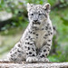 Snow Leopard Kitten Sitting