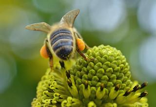 honey bee on Rudbeckia laciniata {explored}