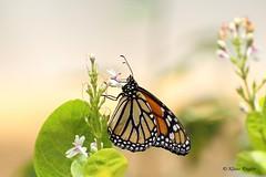 Amerikanische Monarch (Klaus R. aus O.) Tags: monarchfalter schmetterling edelfalter danainae danaini danausplexippus tagfalter wanderfalter orange duftschuppen zart insekt fliegen schön monarchbutterfly butterfly butterflies smellshed tender insect fly beautiful leicht bunt