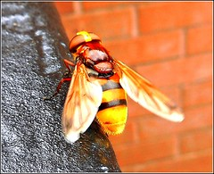 Hornet Hoverfly .. (** Janets Photos **) Tags: uk insects hoverflies hornets nature macro closeups