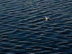 The Gentle Sea (e-box 65) Tags: sea norway norge blue bird ocean helgeland sandnessjøen norwegiansea scandinavia tranquil d7200 18 105 nikkor seagull