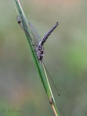 Ululodes quadripunctatus (veltrahez) Tags: miami florida unitedstates us ululodes quadripunctatus closeup olympus zuiko nature macro life adbarnes park