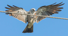 """Hold on while I stick this landing."" (77406 Photography (Mark)) Tags: mississippi kite flight"