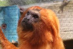 Golden Lion Tamarin (charliejb) Tags: bristol bristolzoogardens bristolzoo 2018 wildlife goldenliontamarin golden tamarin primate monkey fur furry furred mammal