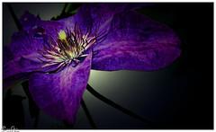 Im Lichterschein / In the light (Reto Previtali) Tags: farben nah pflanzen garten sommer fotograf flickr nikon blüten stiel sigma digital licht
