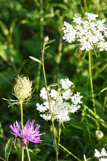 Queen Anne's Lace & Knapweed II