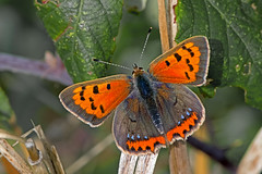 Lycaena phlaeas - the Small Copper (form caeruleopunctata) (BugsAlive) Tags: butterfly mariposa papillon farfalla 蝴蝶 schmetterling бабочка conbướm ผีเสื้อ animal outdoor insects insect lepidoptera macro nature lycaenidae lycaenaphlaeas smallcopper formcaeruleopunctata lycaeninae wildlife tidworth wiltshire liveinsects uk nikon105mm bugsalive