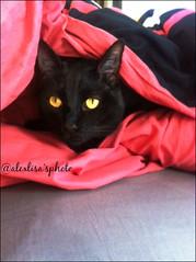 46 (alexlisa'sphoto) Tags: chat cat black noir red rouge mignon