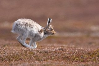 Mountain Hare on the run.