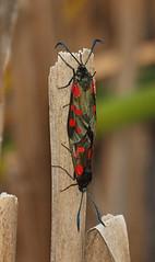 2018_07_0283 (petermit2) Tags: 6spotburnetmoth sixspotburnetmoth burnetmoth burnet moth northcavewetlands northcave brough eastyorkshire eastridingofyorkshire yorkshire yorkshirewildlifetrust ywt wildlifetrust wildlifetrusts