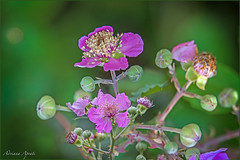 fiori di rovo, bramble flowers (adrianaaprati) Tags: bramble flowers summer september park pink colors green blur