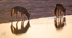 At the watering hole (Jasper's Human) Tags: coyote water