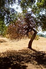 DSC_1658-a2 (stumbleon) Tags: nikondslr nikond7200 amadorcountycalifornia landscape trees california rural countryroads grassland rollinghills