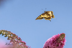 Machaon (sfrancois73) Tags: faune machaon insecte jardin papillon
